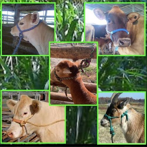 Jáquimas para ganado bovino, cabras y ovejos.