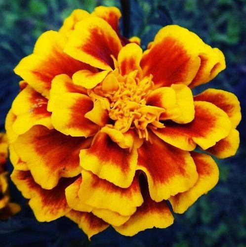 Plantas florales ornamentales semillas flores de jardín