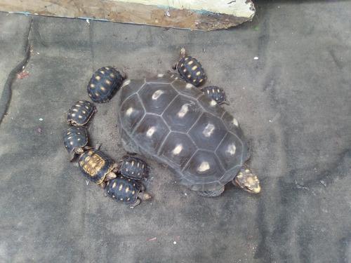Tortugas de tierra (morrocoy)