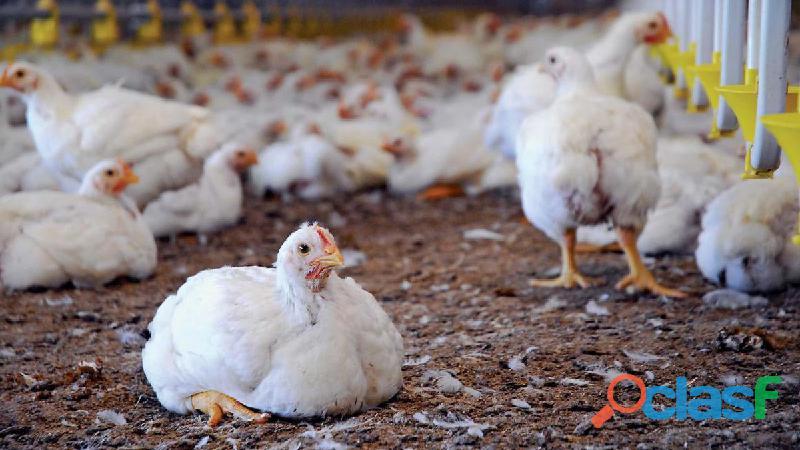Pollos de engorde cobb500