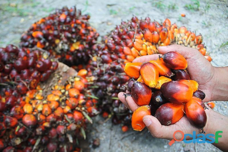 aceite de palma crudo y refinado 2