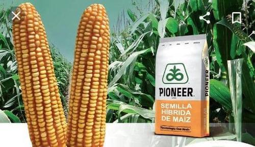 Semillas hibridas certificadas de maíz amarillo