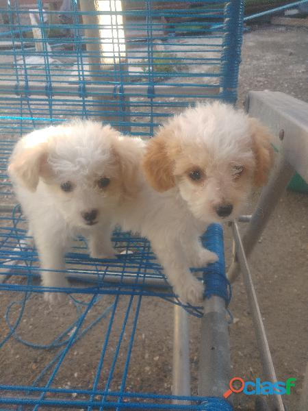 Cachorros poodle Toys macho y hembra 1