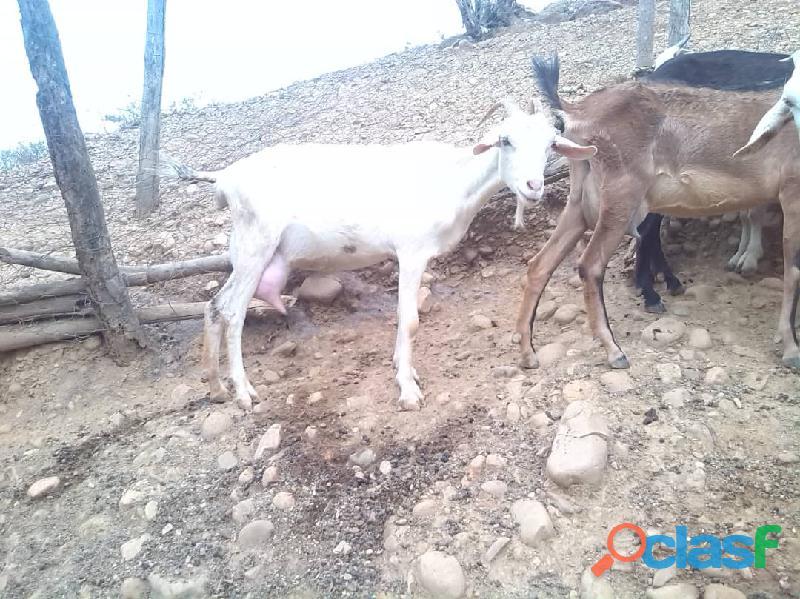 Oferta cabras lecheras de raza sanne y alpinas