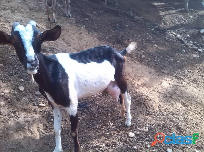 Oferta Cabras lecheras de raza sanne y alpinas 3