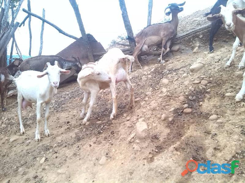 Oferta Cabras lecheras de raza sanne y alpinas 1