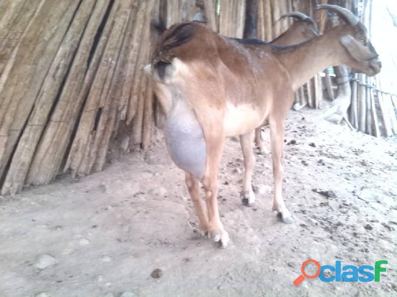 Oferta Cabras lecheras de raza sanne y alpinas 4